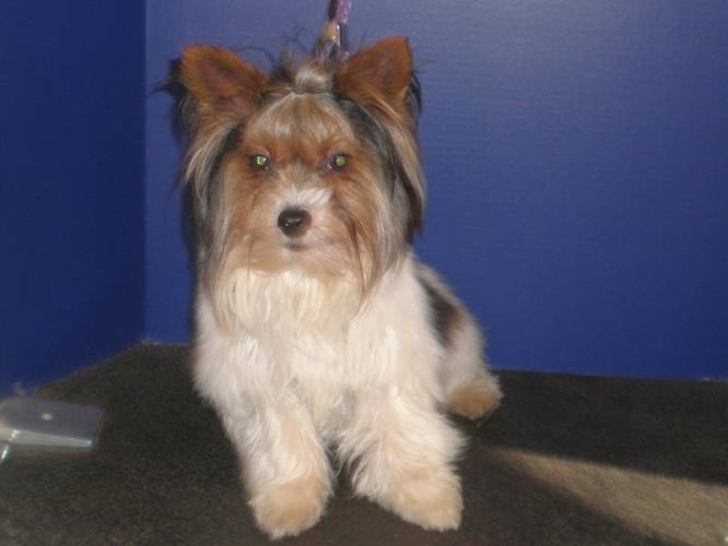TRI COLOURED YORKSHIRE TERRIERS