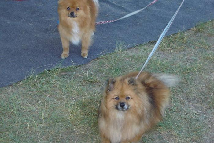Two purebred sable pomeranian dogs to a great home.