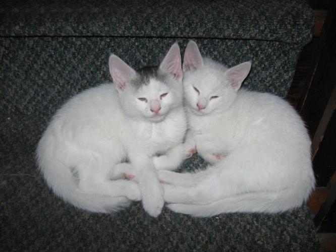 Two White Kittens