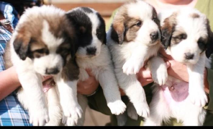 *Unique Tornyak Puppies