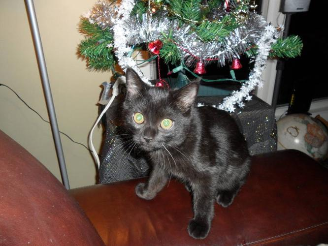 very Special Loyal Kitten.PersianxHimalayan x Siamese