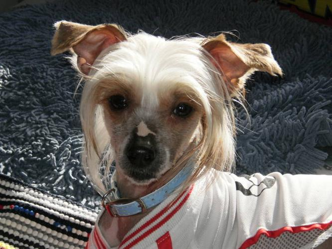 Wanted: CHINESE CRESTED MALE thank you