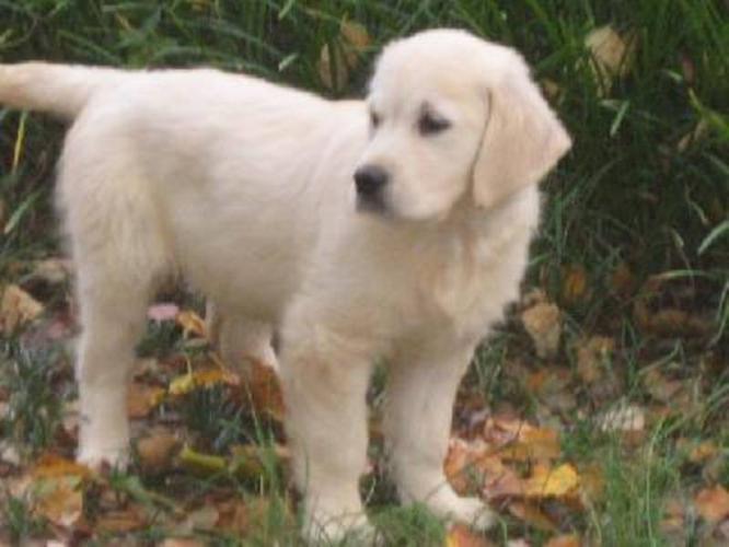 Wanted: Golden retriever puppy (white)