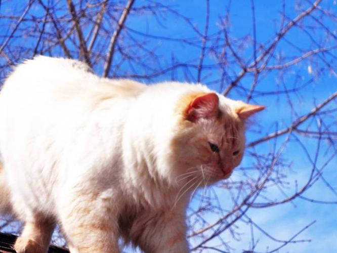 Wanted: Missing Flame Point Male GUS!Very Friendly since Oct/28