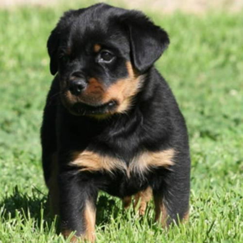 Wanted: Rottweiler Puppy