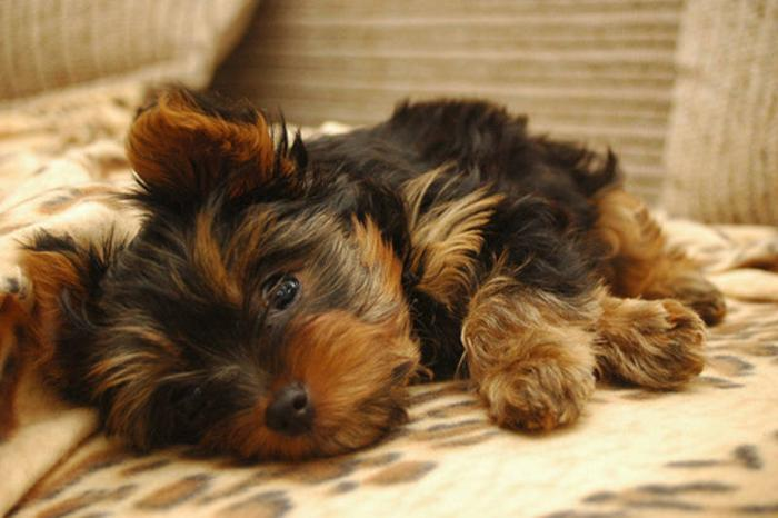 Wanted: YORKIE PUPPY WANTED MALE OR FEMALE!