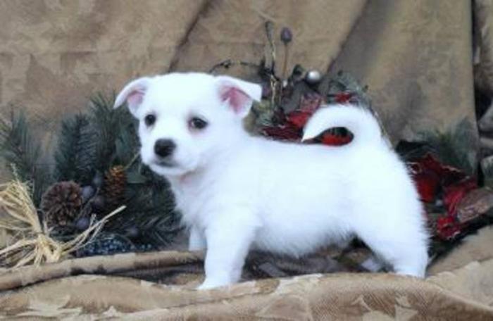 West Highland White Terrier X Puppies