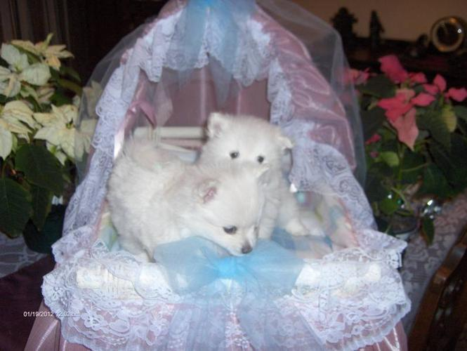 White Pomeranian Puppies for sale in Kamloops, British