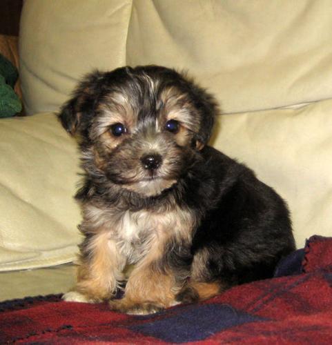 Yorkie / Bichon puppies