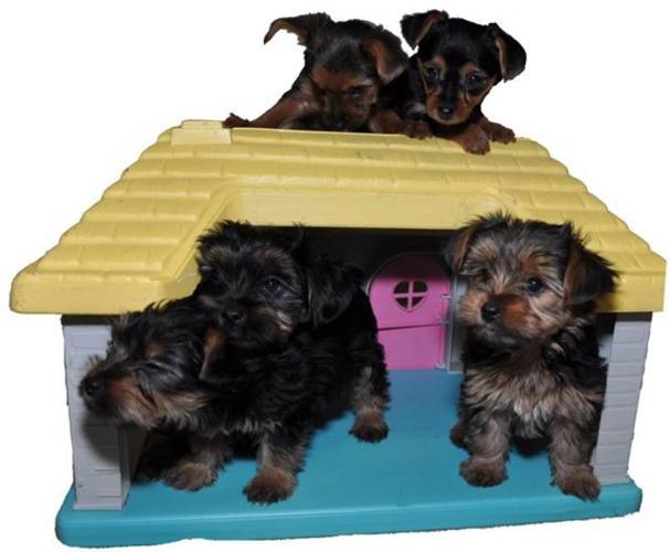 Yorkie / Biewer Yorkshire Terrier Puppies
