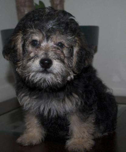 Yorkie Poo Male Pup -Adult will be ~12 lbs Vet Cert