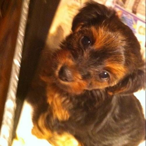 Yorkie Poodle Puppies For Sale In Ardrossan Alberta Your