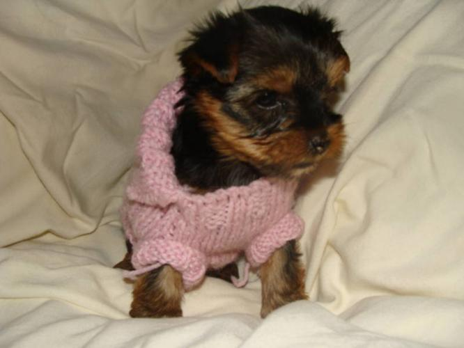 Yorkie pup for sale