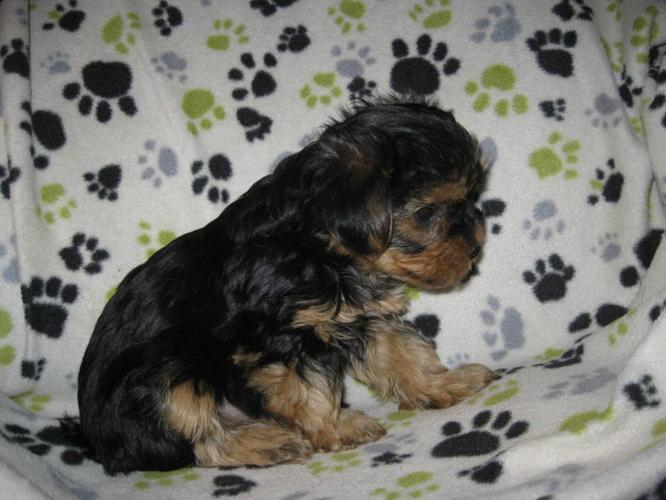 Yorkie Puppies For Sale In Arthur Ontario Your Pet For Sale
