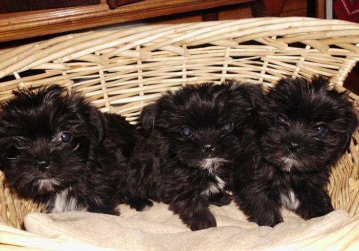 Yorkie-ShihTzu puppies