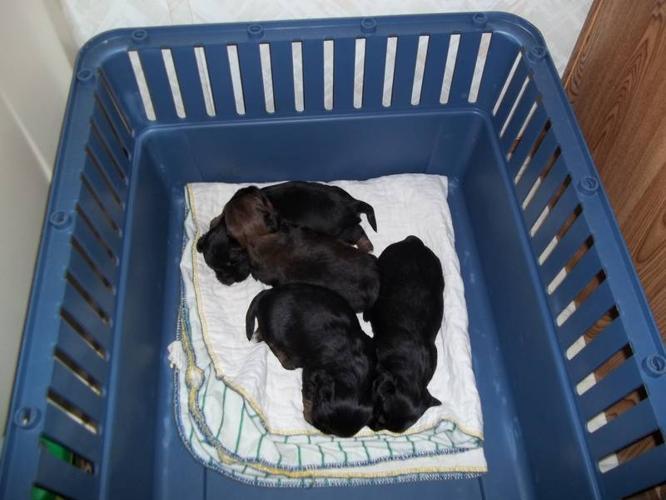yorkie xyorkie/shihzu puppies