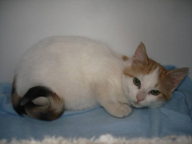 Young Female Cat - Calico: