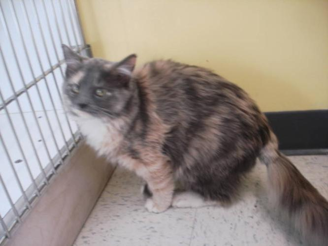 Young Female Cat - Dilute Tortoiseshell: