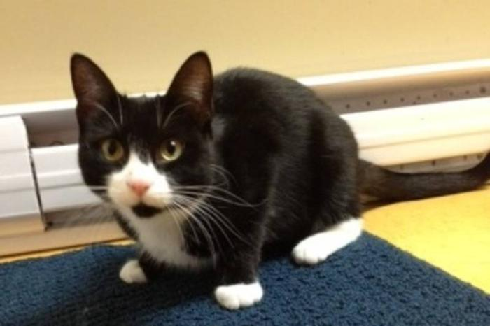 Young Female Cat - Domestic Short Hair-black and white: