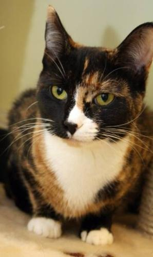 Young Female Cat - Domestic Short Hair Calico: