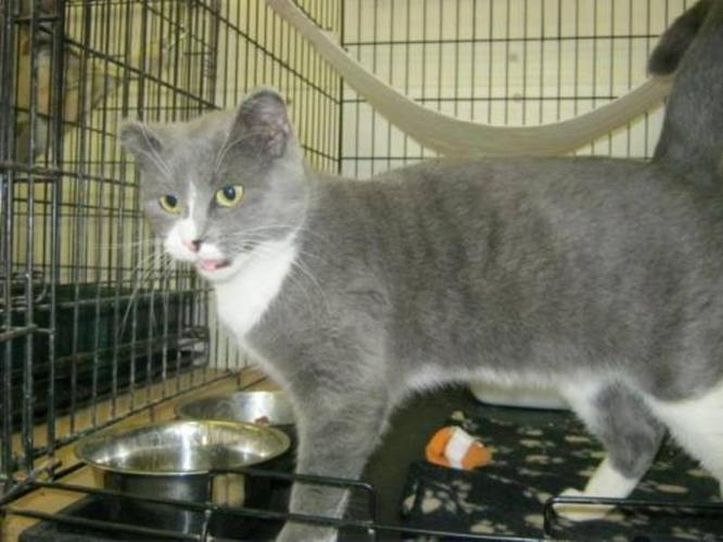 Young Female Cat - Domestic Short Hair - gray and white