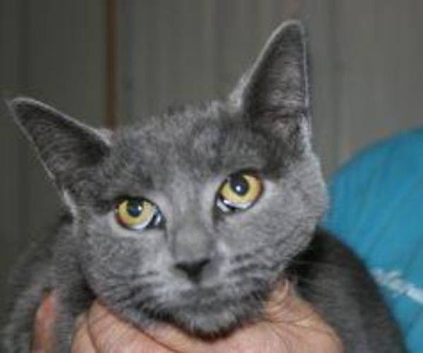 Young Female Cat - Domestic Short Hair-gray: