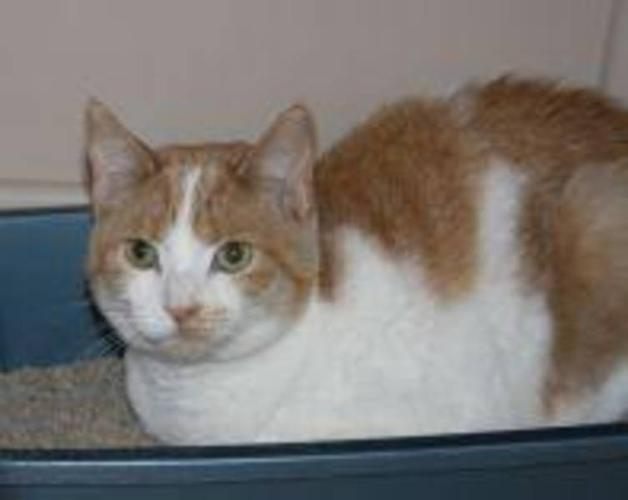 Young Female Cat - Domestic Short Hair - orange and white