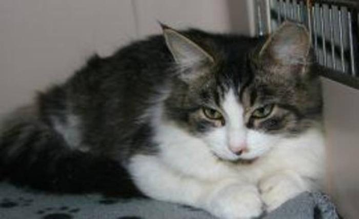 Young Female Cat - Domestic Short Hair-white Tabby: