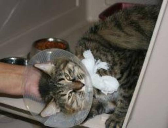 Young Female Cat - Tabby Domestic Medium Hair: