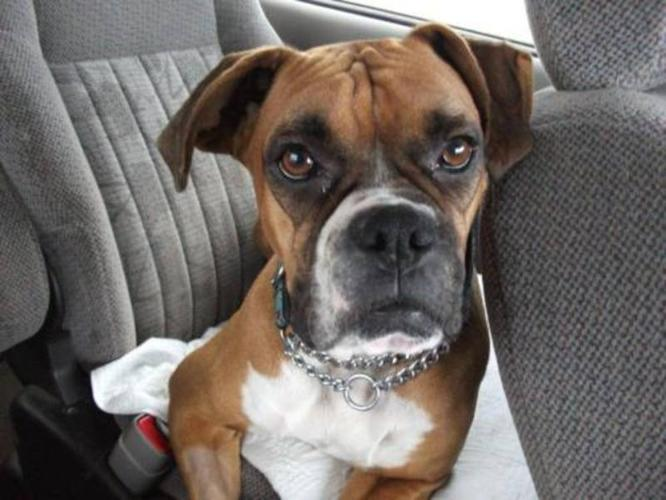 Young Female Dog - Boxer: