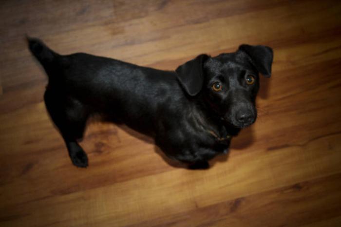 Young Female Dog - Dachshund: