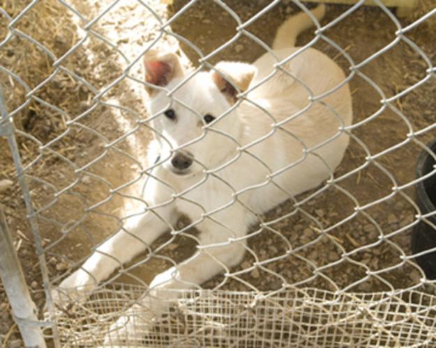 Young Female Dog - Husky German Shepherd Dog: