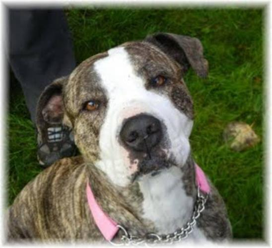 Young Female Dog - Pit Bull Terrier Boxer: