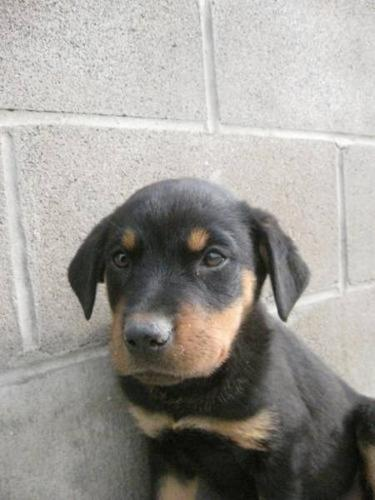 Young Female Dog - Rottweiler: