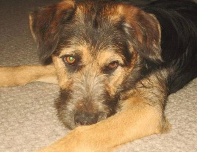 Young Female Dog - Shepherd Terrier: