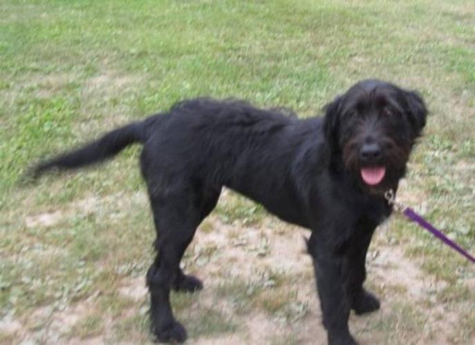 Young Female Dog - Terrier Labrador Retriever: