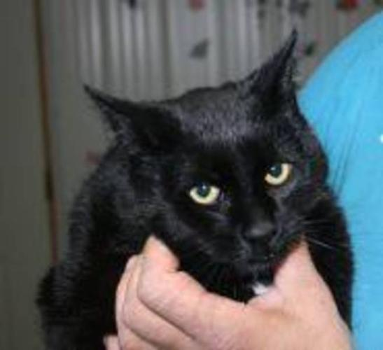 Young Male Cat - Domestic Short Hair-black: