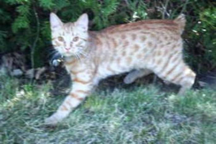 Young Male Cat - Manx Tabby - Orange: