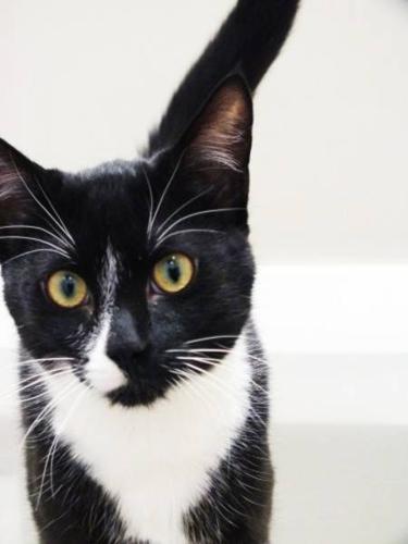 Young Male Cat - Tuxedo: