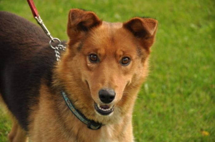 Young Male Dog - Collie German Shepherd Dog:
