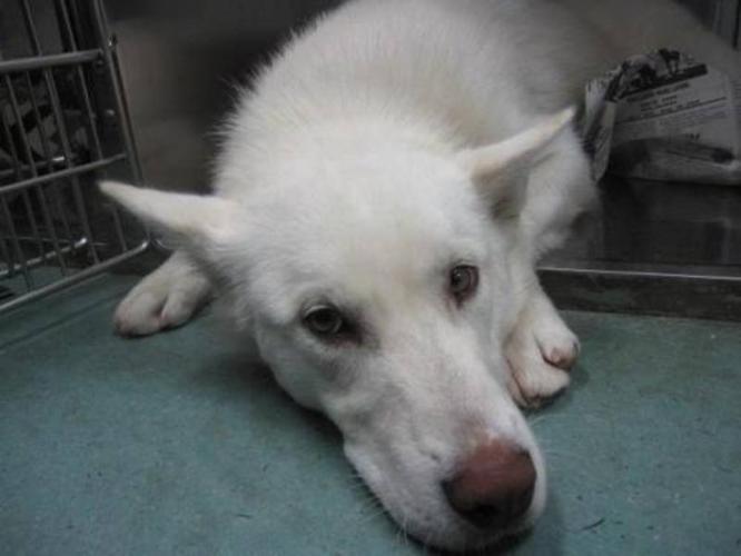 Young Male Dog - Husky Labrador Retriever: