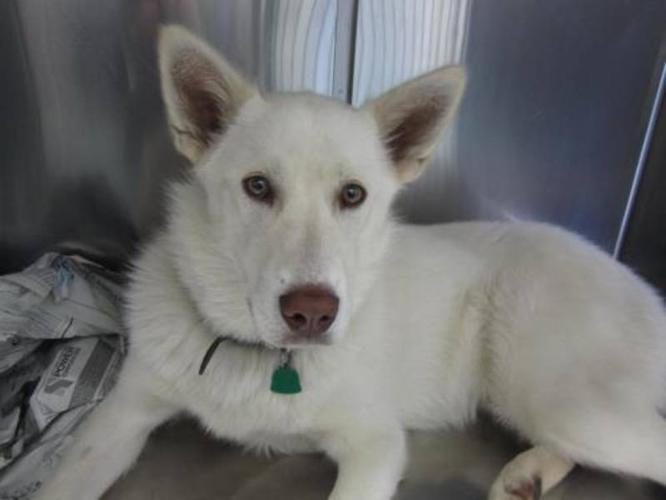 Young Male Dog - Husky: