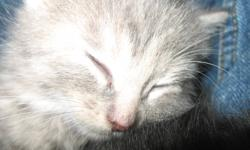The Bush Kitten is a wild and noble animal, only to be tamed by the bravest of hearts!   Who are we kidding. Give them a scratch under the chin and their putty in your hands.    Update: Phantom has found a new home, thanks Michelle!   Phantom and Panda