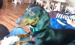 11 month old black and tan male dachshund must be re-homed ASAP. He is fully trained (crate) and has all shots and clean bill of health from the vet. He is a pure bred. Asking $350. Just want a loving, warm home for him. He is great with other dogs. He is