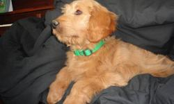 Wonderful Temperment.  Great with Children.  Last Puppy in our litter.  He is ready for a new home.  Mother golden retriever and father red standard poodle.  He is ready to join a new family today. Comes vet check, dewormed and with his first set of