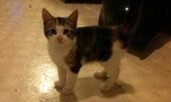 Hi there, I have a beautiful 12 week old Calico kitten free to a good home. I believe she will be a shorter haired Calico. We named her Callie but I'm sure that can be change! She is very loving and is litter trained. Is currently in a home with dogs and