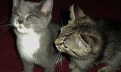 I have two kittens who need good permanent homes.  One grey and white male, one grey tabby male.  $25 each.  They are very affectionate and playful, very good with children.  They have been raised around young children ages 2 - 6.  Litter trained, ready
