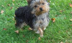 I have a 17 month old baby girl from my female Yorkie, she has a great temperament, well mannered pup gets along with other yorkies, she is tiny for her age,  i am looking for a good home for her. these are updated pics of her,.Second last pic is mother,