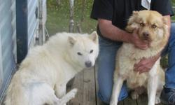 -7 year old female chow-chow/alaskin malmute, white in color, purple tongue