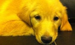 for sale: 1 female golden retriever puppie ,female,come with 1st shot, dewormed and health record, this beaautiful girl is ready for her forever home, please email or text 519-410-4997, or call 226-440-2591 Lisa, to set up a appointment (norfolk road